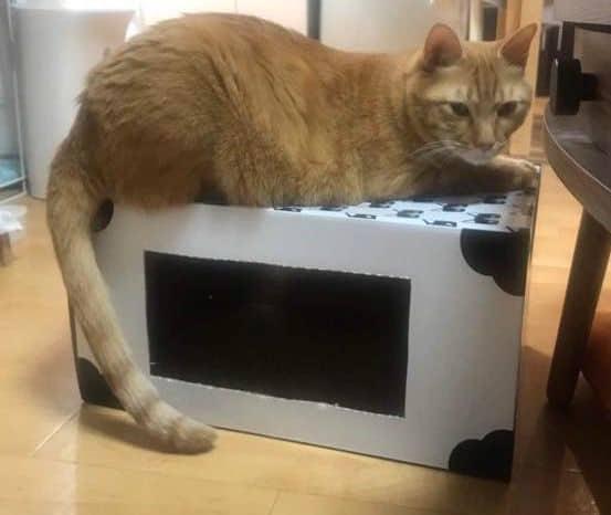 「猫もぐら叩きボックス」に乗るチャー